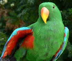eclectus Male showing of his wing