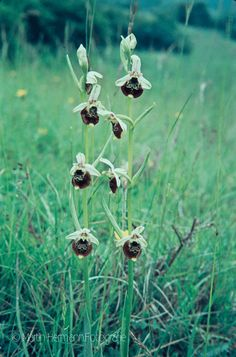 Hummel-Ragwurz-Ophrys-holoserica-(Bissinger-Loch-1972)