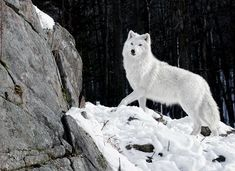 Visit WolfGifts.com for more cool wolf photos. Arktischer Wolf, She Wolf, Gray Wolf, Beautiful Wolves, Animals Beautiful, Cute Animals, Wild Animals, Beautiful Creatures, Wolf Photos
