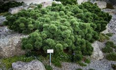 Unexpected groundcovers: pinus mugo bubikopf by hedwig storch