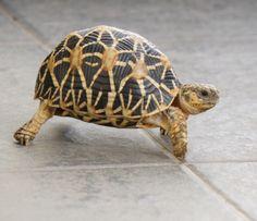 My Tortoise_Indian Star