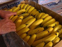 PIP COURTNEY, REPORTER: It's taken several years, but the family behind the biggest banana farm in Australia believes it's finally cyclone-proofed its $50 million-a-year operation.