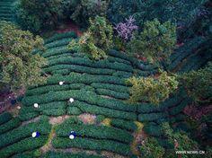 (Xinhua) Farmers harvest West Lake Longjing tea in a tea farm in Hangzhou, Zhejiang Province, March 17, 2015