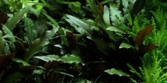 Cryptocoryne beckettii 'Petchii' - Tropica Aquarium Plants