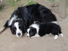 Border Collie Pup Resting/Napping With Mama. Border Collies, Border Collie Bleu Merle, Border Collie Puppies, Collie Mix, West Highland Terrier, Australian Shepherds, Cute Dogs Breeds, Dog Breeds, Scottish Terrier