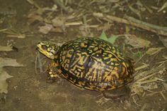 Eastern Box Turtle - Four Mills Reserve - 2006 Eastern Box Turtle, Turtles, Animales, Tortoises, Turtle, Tortoise