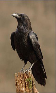 The Crow, Raven Bird, Crow Bird, Nature Animals, Animals And Pets, Cute Animals, Crow Pictures, Crow Photos, Choucas Des Tours