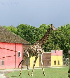 Girafe | par nophotographie