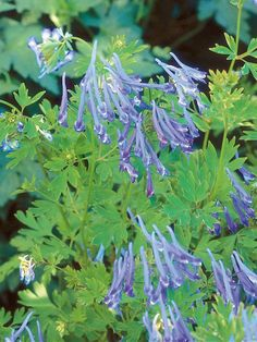 Blue Corydalis is Outstanding Shade Plant. A woodland perennial with a mass of feathery, light green leaves, blue corydalis produces tubular flowers from late spring to summer. There are several cultivars: bright blue 'Pere David' and deep blue 'China Blue' and 'Purple Leaf'. Grow it with yellow C. lutea.