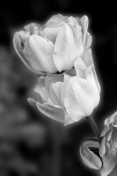Claudia tulip black white unframed print photo wall by PriorPhotos