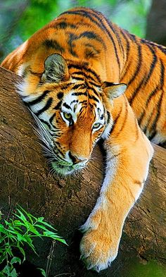 Tiger resting in tree!