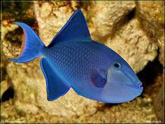 Redtoothed triggerfish(Niger trigger;Odonus niger)