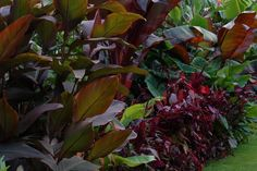Red/purple foliage dominates this tropical garden border.  The plants with coloured foliage foliage are:  Canna indica 'Purpurea' Amaranthus both A.paniculatus 'Oeschberg' and Amaranthus 'Hopi red dye'. Red Ensete ventricosum