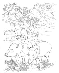 Desert Animals Coloring Pages Peccary