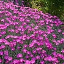 Drought Tolerant Perennial Plants - Wilson Bros. Nursery