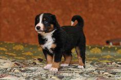 Appenzeller puppy