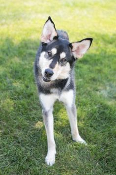 Meet Kira, a Petfinder adoptable Husky Dog | State College, PA | Breed: Husky/German ShepherdGender: FemaleDOB: 3/7/2014Hi there! I'm Kira, a friendly girl who is...
