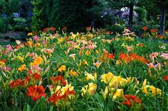 mass plantings of daylilies