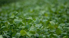 Entretanto, segundo o Cepea, intensidade do aguaceiro pode prejudicar a colheita