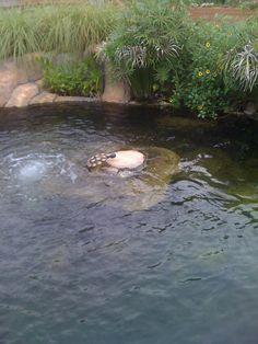Turtle island in Koi pond