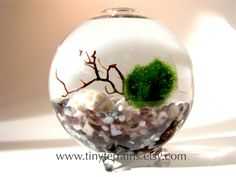 Marimo Moss Ball Globe Terrarium: FREE 2nd Marimo Ball - Several colors available for your aquarium