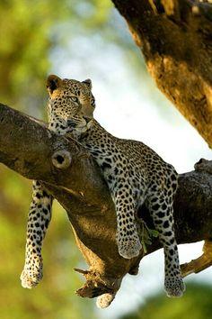 Leopard in Tree, Samburu National Park, Kenya ~ Photo by Jim Zuckerman