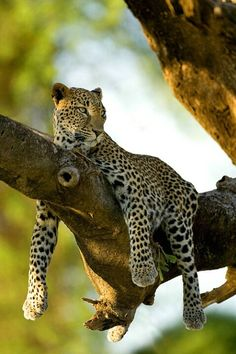 Leopard in Tree, Samburu National Park, Kenya ~ Photo by Jim Zuckerman