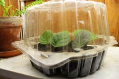 I CAN ASSURE YOU that African violets are very easy to propagate. Just stick a stem in damp soil, provide abundant humidity, and in eight weeks time you'll be greeted with numerous new plants. What the babies look like, and how to separate and pot them successfully: