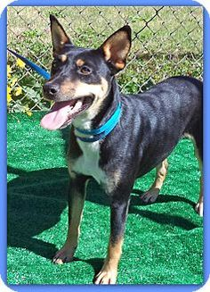 Act quickly to adoptPets at this Shelter may be held for only a short time.Marietta, GA - Manchester Terrier Mix. Meet KRYPTO a Dog for Adoption.