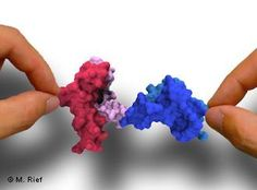 Proteins fold into 3D structures to function