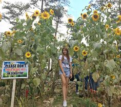 The Good Shepherd Convent + Facts about my Favorite Flower Facing The Sun, Baguio City, Sunflower Garden, How Do You Find, The Good Shepherd, Name Calling, Philippines Travel, Find People