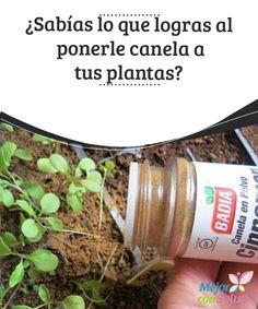 ¿Sabías lo que logras al ponerle #canela a tus #plantas? Además de mermar la proliferación de #hongos y evitar las #plagas, la canela en polvo también puede ser muy útil para acelerar el enraizamiento de los esquejes #Curiosidades
