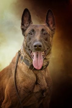 Belgian Malinois dog portrait