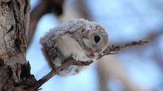 Ennél cukibb ma már nem lesz! :) A repülő mókus Amerikában, Eurázsiában és…
