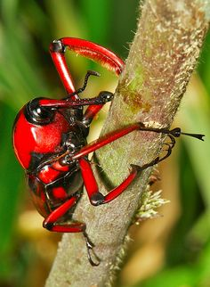 The Featured Creature: This impressive, bright red creature is the Bamboo Weevil (Cyrtotrachelus longimanus).