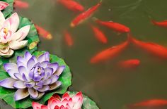 These red Chinese Goldfish are the best fish for bringing abundance. They look like carp but are completely red in color. Always keep the water fresh and clean for your fish.