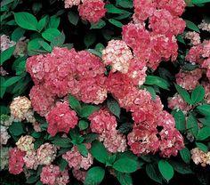 White Flower Farm - Hydrangea serrata Preziosa - 27.95