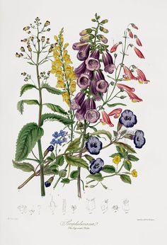 Elizabeth Twining Natural Order of Plants 1849