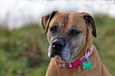 GRETA is an adoptable Boxer searching for a forever family near Richland, WA…