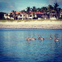 Great day for paddle boarding with pelicans off Delray Beach Florida. #paddleboarding #delraybeach #florida #pelican by richardsonartphotography