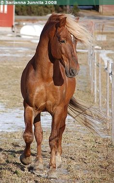 Finnhorse stallion 19 years old. Pretty Horses, Horse Love, Beautiful Horses, Pony Breeds, Horse Breeds, Farm Animals, Animals And Pets, Cute Animals, Horses And Dogs