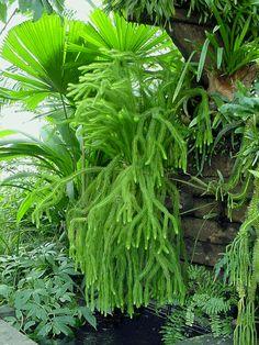 tassel rock fern Looks like Lycopodium with some ferns Shade Plants, Cool Plants, Green Plants, Air Plants, Indoor Plants, Australian Plants, Australian Garden, Fern Plant, Trees To Plant