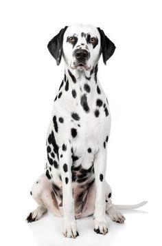 Een schattige, levensechte foto muursticker van een dalmatiër. In drie formaten verkrijgbaar.