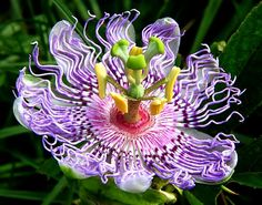 Męczennica - Passiflora