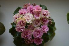 Sassy Sister (S. Sorano)  (8553) 11/09/1996 Double dark pink pansy/green ruffled edge. Medium green, plain, wavy. Semiminiature   Махровые темно-розовые анютины глазки с зеленой бахромчатой каймой. Средне-зеленая простая волнистая листва. Полуминиатюра.