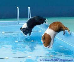 Guinea Pig Olympics!
