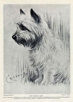 "Cairn Terrier Lovely Vintage Dog Print 1934 ""The Prince's Cairn"" | eBay"