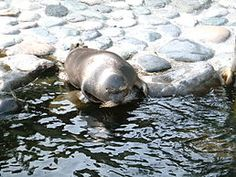 TIL it remains a scientific mystery how Baikal Seals originally came to Lake Baikal hundreds of kilometers from any ocean. Estimated to have inhabited Lake Baikal for some two million years the Baikal Seal is the only true freshwater seal on Earth. Lake Baikal Russia, Hakone Japan, Sea Otter, Hippopotamus, Otters, Dolphins, Mammals, Creatures, Ocean