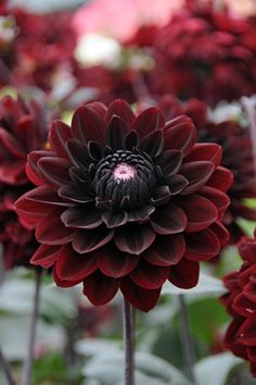One of the darkest Dahlias with its masses of dark velvety red flowers, almost black at their heart, Karma Choc is a remarkable Dahlia.