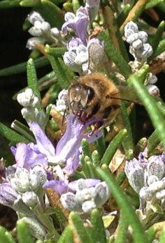 My beloved Bees